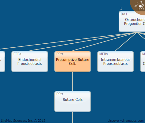 Presumptive Suture Cells