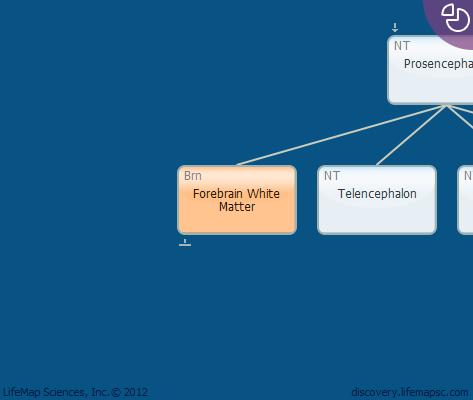 Forebrain White Matter