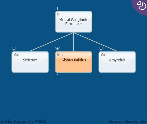 Globus Pallidus