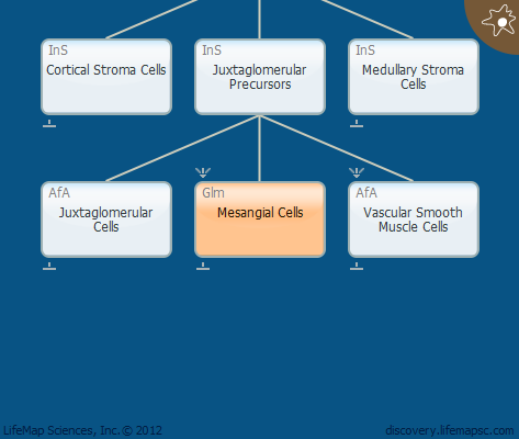 Mesangial Cells