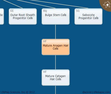 Mature Anagen Hair Cells