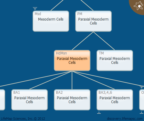 Paraxial Mesoderm Cells