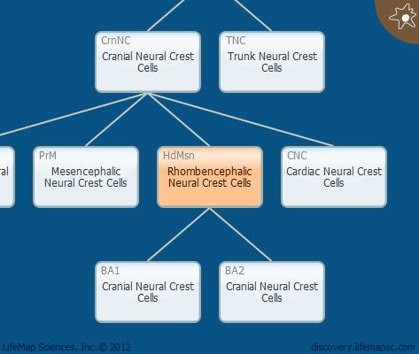Rhombencephalic Neural Crest Cells