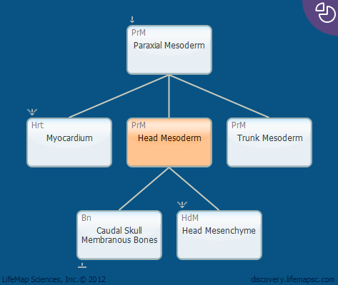 Head Mesoderm