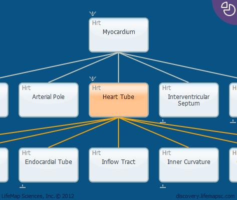 Heart Tube