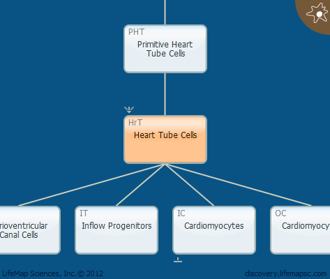 Heart Tube Cells