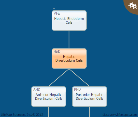 Hepatic Diverticulum Cells