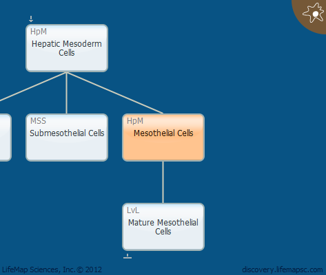 Mesothelial Cells