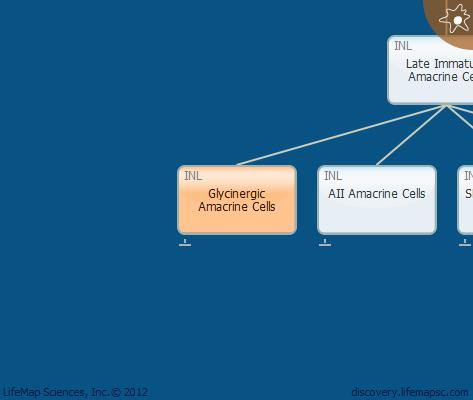 Glycinergic Amacrine Cells