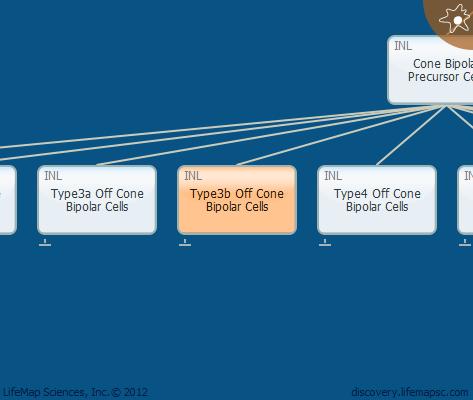 Type3b Off Cone Bipolar Cells