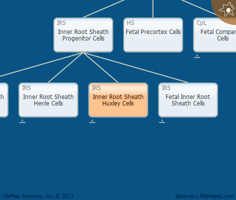 Inner Root Sheath Huxley Cells