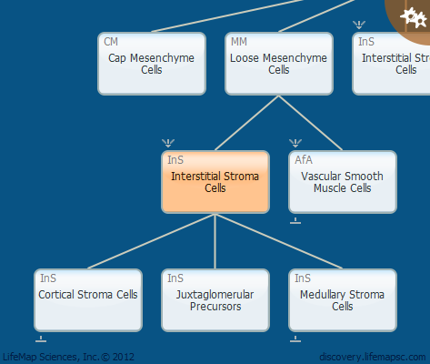 Interstitial Stroma Cells