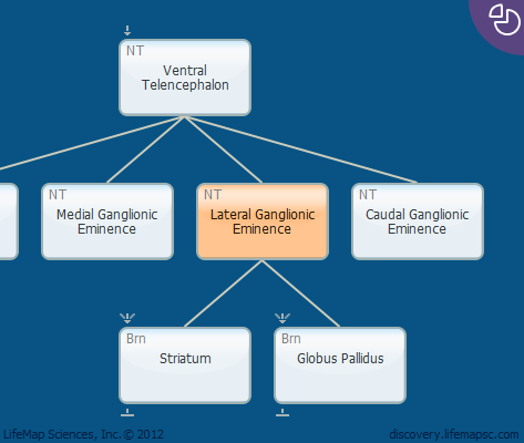 Lateral Ganglionic Eminence