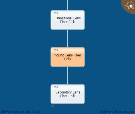 Young Lens Fiber Cells