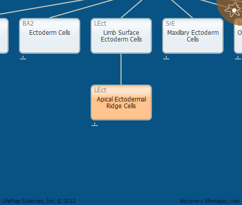 Apical Ectodermal Ridge Cells