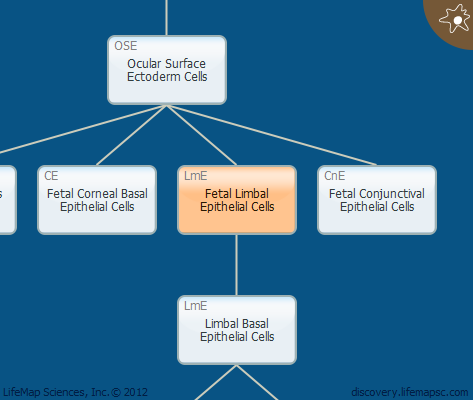 Fetal Limbal Epithelial Cells