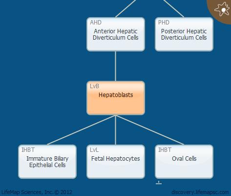 Hepatoblasts