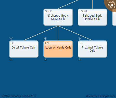 Loop of Henle Cells