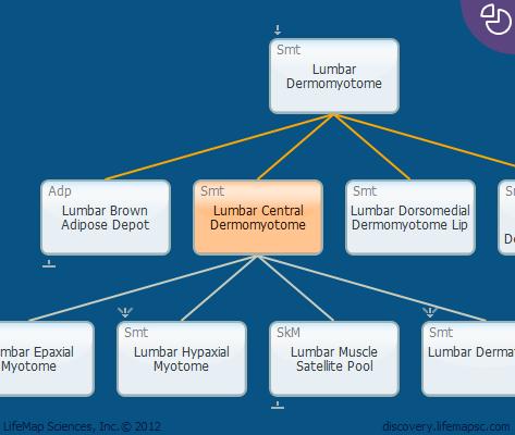 Lumbar Central Dermomyotome