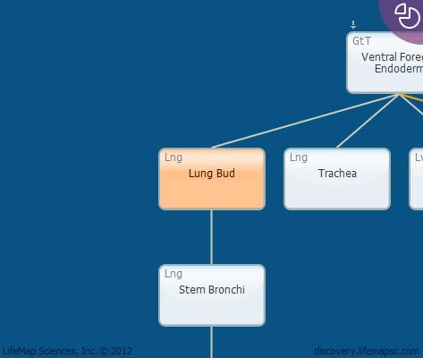 Lung Bud