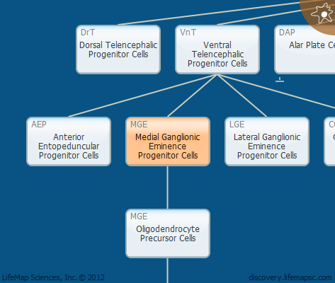 Medial Ganglionic Eminence Progenitor Cells