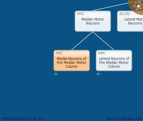Medial Neurons of the Median Motor Column
