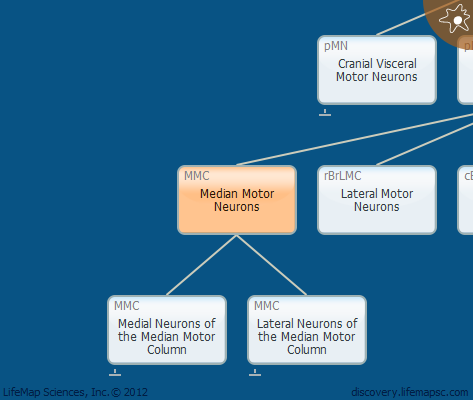 Median Motor Neurons