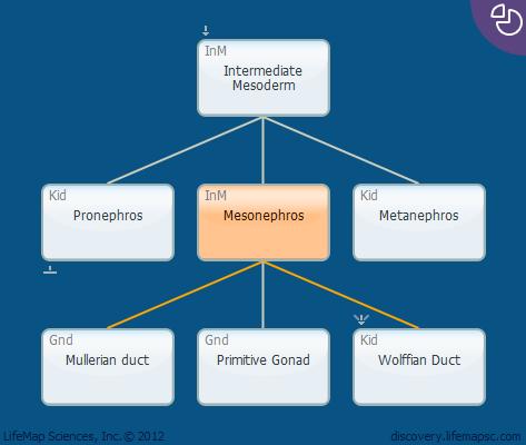 Mesonephros