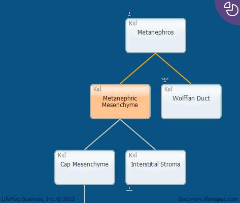 Metanephric Mesenchyme