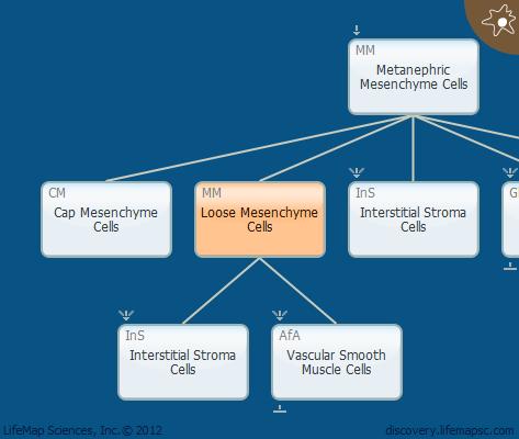 Loose Mesenchyme Cells