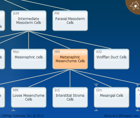 Metanephric Mesenchyme Cells