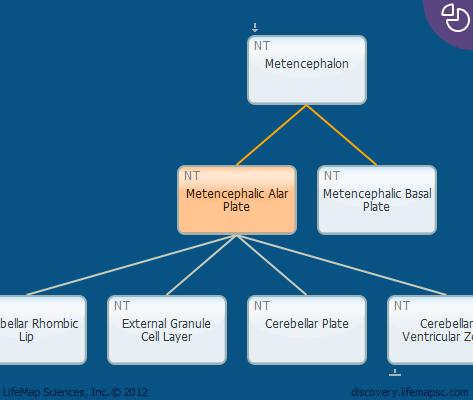 Metencephalic Alar Plate