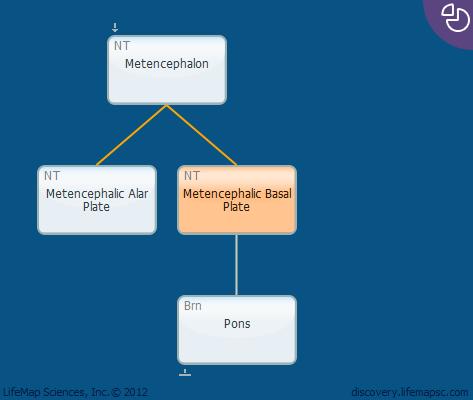 Metencephalic Basal Plate
