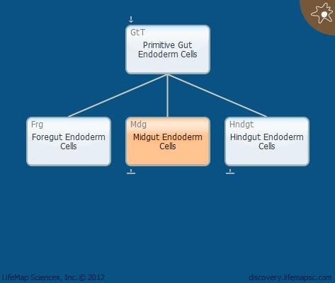 Midgut Endoderm Cells