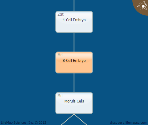 8-Cell Embryo
