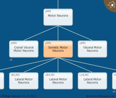 Somatic Motor Neurons