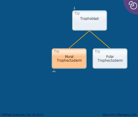Mural Trophectoderm