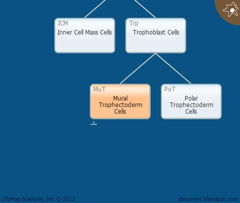 Mural Trophectoderm Cells