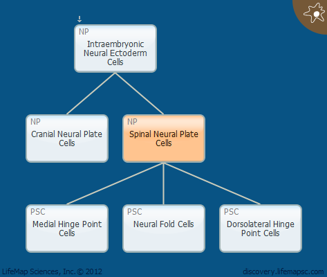 Spinal Neural Plate Cells