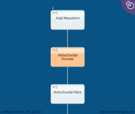 Notochordal Process