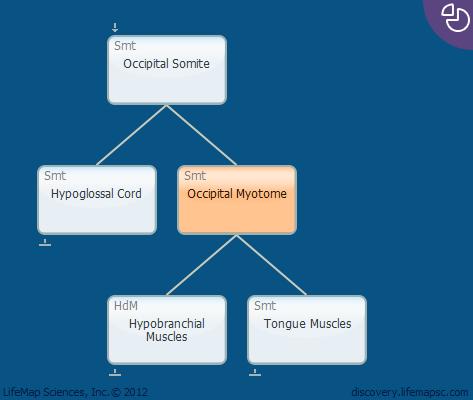 Occipital Myotome