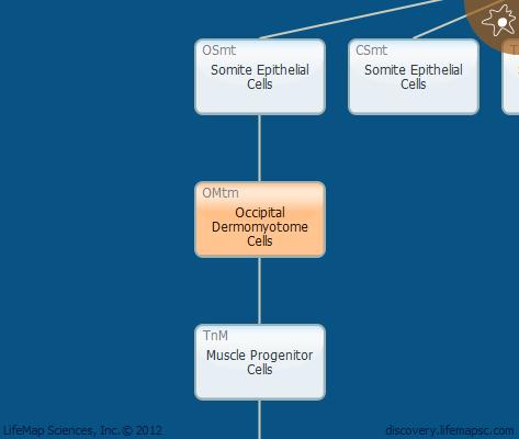 Occipital Dermomyotome Cells