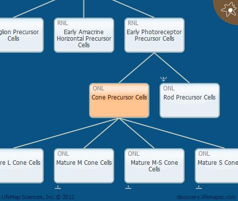Cone Precursor Cells