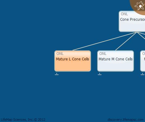 Mature L Cone Cells