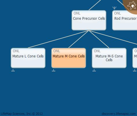 Mature M Cone Cells
