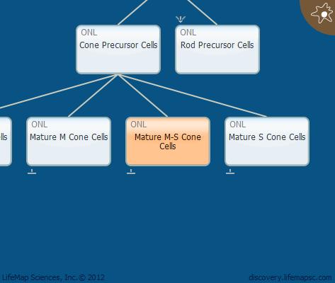 Mature M-S Cone Cells