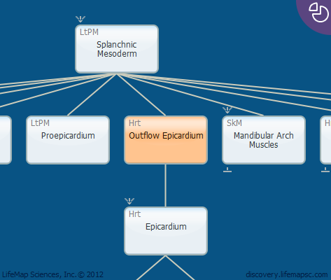 Outflow Epicardium