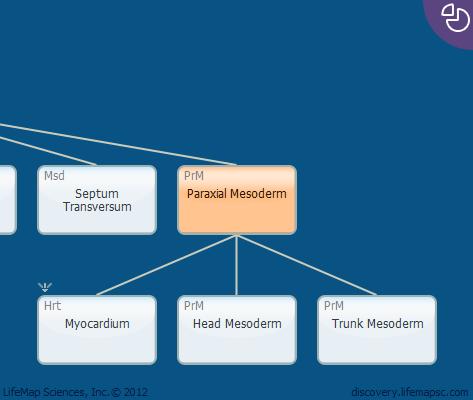 Paraxial Mesoderm