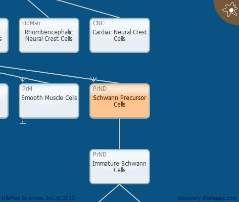 Schwann Precursor Cells