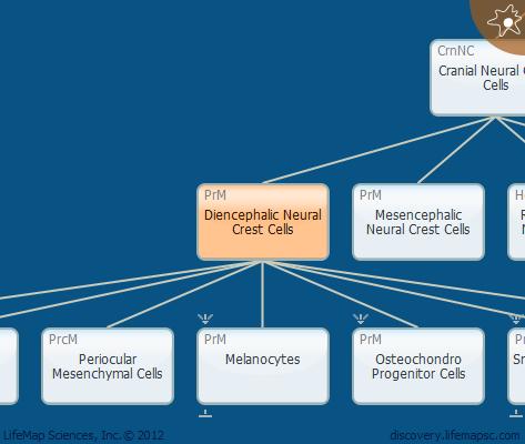 Diencephalic Neural Crest Cells